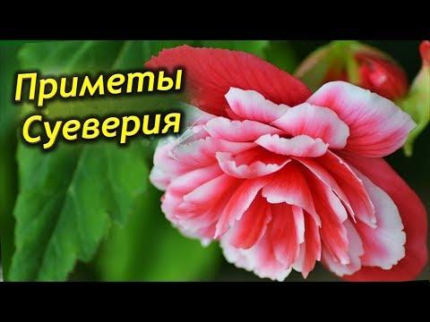 Что приносит Бегония в дом? Приметы и суеверия о Бегонии. Можно ли держать цветок дома?