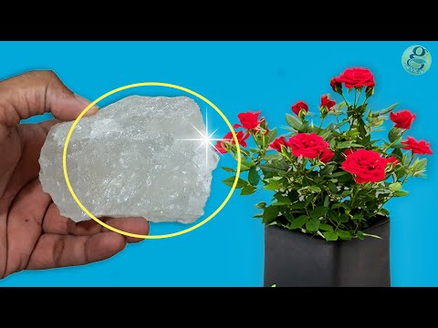 10 Powerful Rose Plant Care Tips   How to grow Roses?