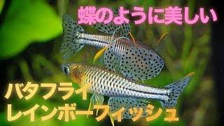 【熱帯魚・レインボーフィッシュ】バタフライレインボーフィッシュ (Aqupedia)