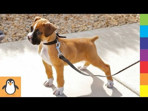 4 Boxer Lovers  Funny and Cute Boxer Dogs Videos Compilation
