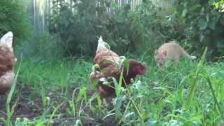 курица напугала котенка