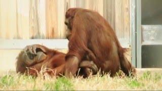 Orangutan Porn