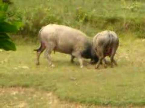 Water Buffalo VS. Water Buffalo (Vietnam)