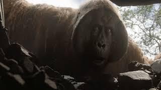 Маугли спасается от короля Луи!