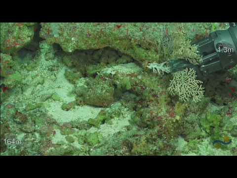 ROV SuBastian Dive 060 - Palmyra Atoll - Sea Level Secrets Expedition