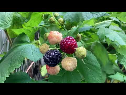 Blackcap Raspberries: How To Grow And Enjoy This Exquisite Native Fruit