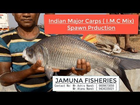Indian Major Carp(IMC) Spawn Production [ JAMUNA FISHERIES  In Ramsagar, West Bengal ,India]