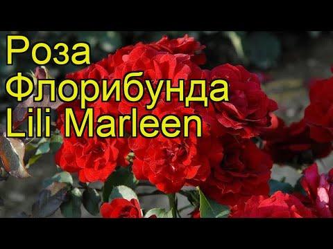 Роза флорибунда Лили Марлен. Краткий обзор, описание характеристик, где купить саженцы Lili Marleen