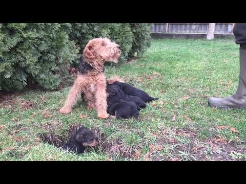 Welsh Terrier puppies for sale by Euro Puppy