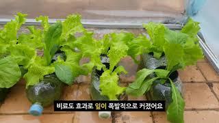 수경재배7  DCW 수경재배기 파종 후 28일 경과