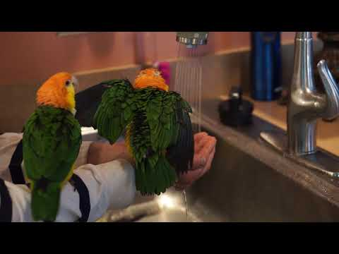 Muffin taking a shower / rain dance (White Bellied Caique)