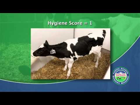 How to Hygiene Score a Dairy Cow (2013)