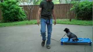 Fort Worth Dog Training | Bo - Puppy Training | Redeeming Dogs | Tod Mcvicker - Dog Training