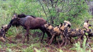 Wild Dogs Killing Wildebeest - Latest Wildlife Sightings