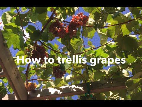 How to trellis grapes: build a trellis, prune a vine
