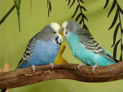 Budgies Singing and Talking to Each Other
