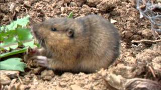 A baby pocket gopher