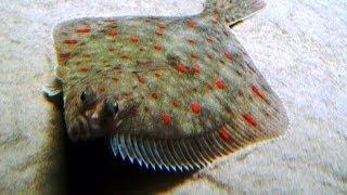 Морская камбала рыба семейства камбаловых