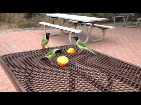 Lunch with Green Jays