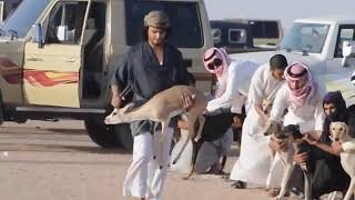 Arabic dogs race