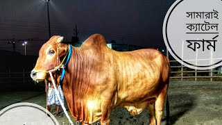 024 | Best of 2018 | Deshi Bull | Evening Show Time | Samarai Cattle Farm | ZbGH 2019