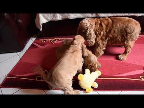 Empress - English Cocker Spaniel Puppy
