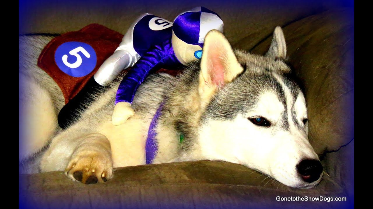 husky puppy halloween costume dog freezes funny must see