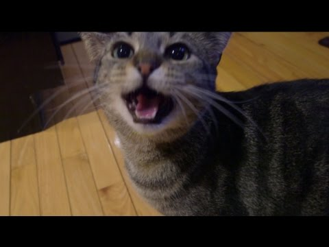 Cat begs for egg yolk every morning