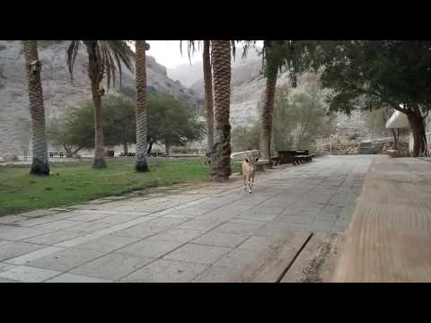 יעל נובי, ביסש עין גדי, ©Nobi Ibex Ein Gedi Field School , Mothernature\u0026luck