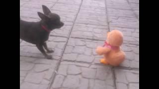 Смешное видео , собака лает на игрушку