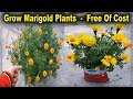 Two Methods To Grow Marigold Plant From Seeds Without Any Cost ll No need To Buy Marigold Seeds