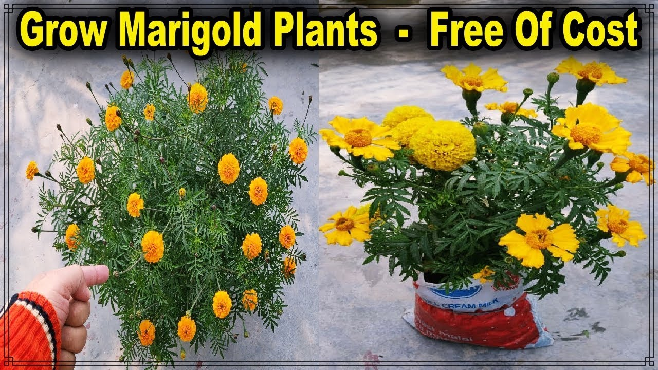 Two Methods To Grow Marigold Plant From Seeds Without Any Cost Ll