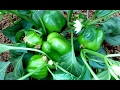 How to grow Capsicum from planting (in India)