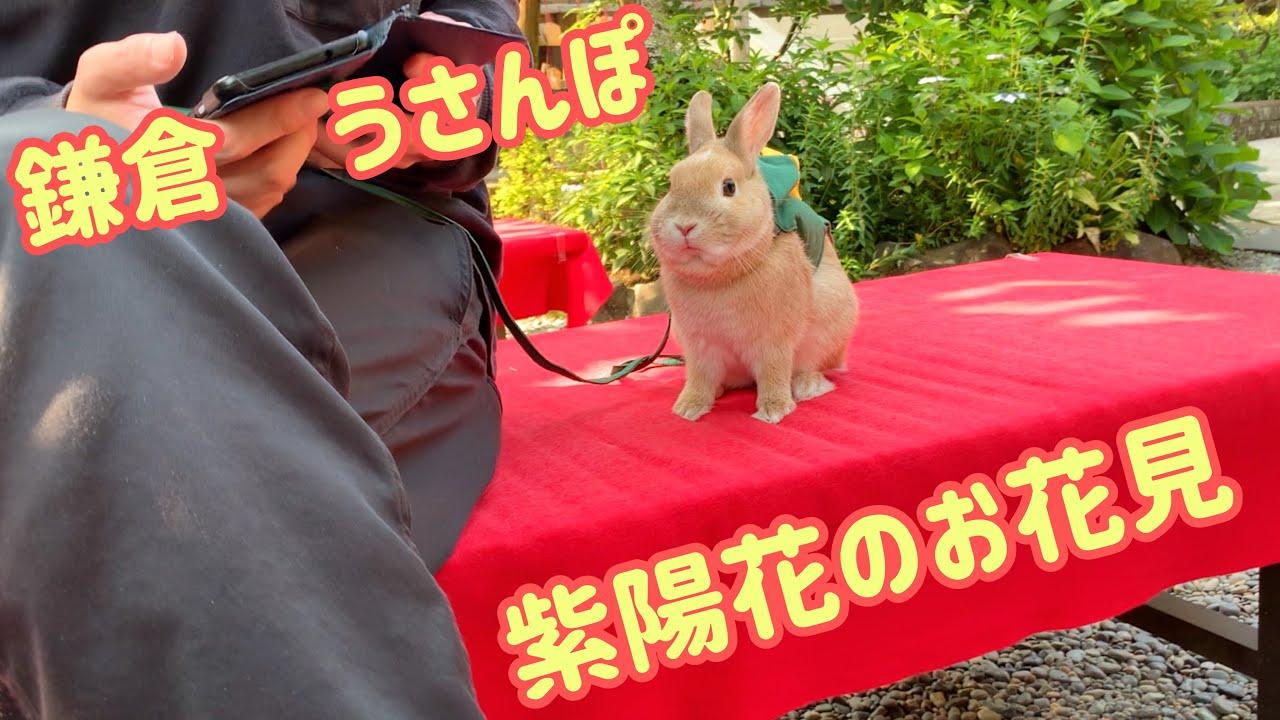#49② 【うさんぽ】ネザーランドドワーフと鎌倉うさんぽ・紫陽花お花見 Take a walk in Kamakura! Hydrangea cherry blossom viewing