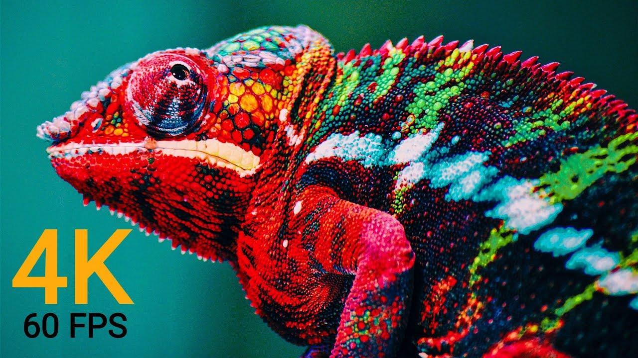 Download Wildlife Animals 4K 60FPS (ULTRA HD)