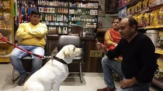 1st time Labrador owner By Baadal Bhandaari 9878474748