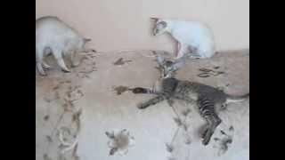 сонные ориентальные кошки