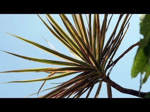 Размножение Драцены в домашних условиях, уход | Dracaena Marginata
