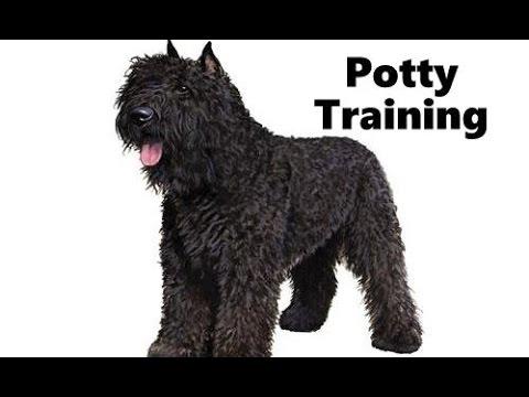 How To Potty Train A Bouvier des Flandres Puppy - House Training Bouvier des Flandres Puppies