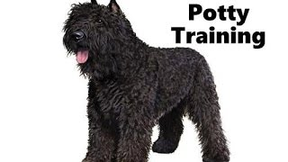 How To Potty Train A Bouvier des Flandres Puppy - House Training Bouvier des Flandres Puppies