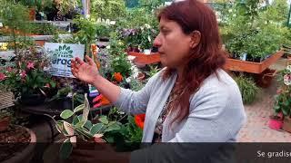 Fiore di cera o hoya carnosa: qualche consiglio utile