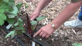 Varieties of Okra You Can Grow