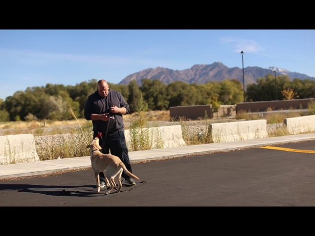Transformations By Ty the Dog Guy- On and Off Leash Training a Lab