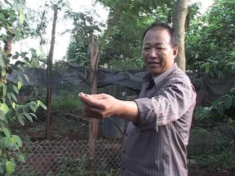 Huong dan trong va cham soc cay Tieu