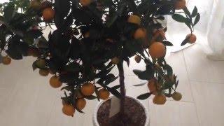 Выращиваем мандарины дома легко и просто