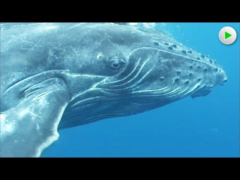 FROM HAWAII TO ALASKA: THE JOURNEY OF THE HUMPBACK WHALE 🌍 Full Documentary 🌍 English HD 2020