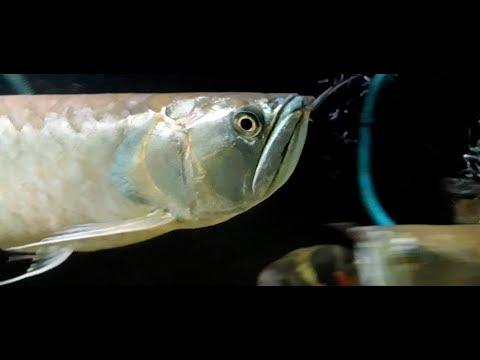 Arowana Not Eating !!! - I Can Feed My Arowanas Now!!! - Arowana Fish Will Eat For Sure