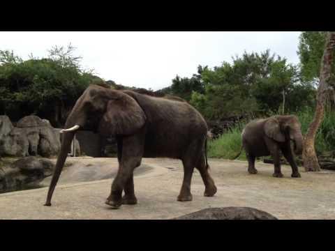 Female Africa elephant @ Taipei zoo
