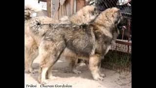Кавказская овчарка Щенки(, 2016-07-23T10:10:47.000Z)