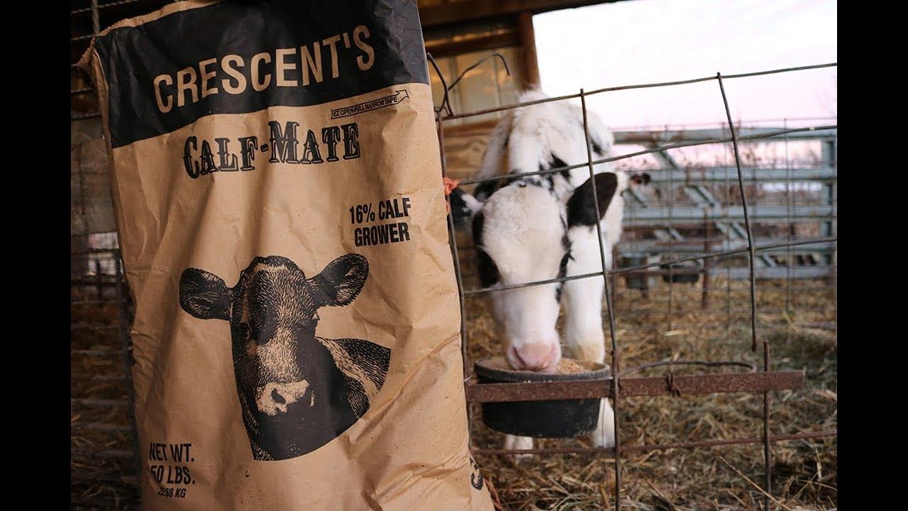 Feeding Calves Grain